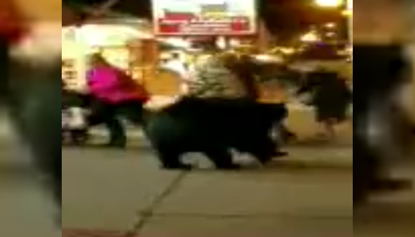 Bear Dashes Into Gatlinburg Candy Store Tennessee Star