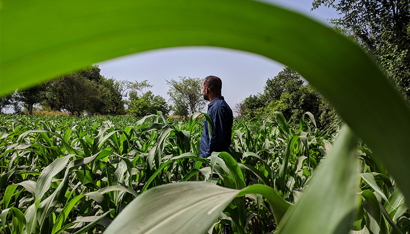 Man in a blue shirt standing in a cornfield.