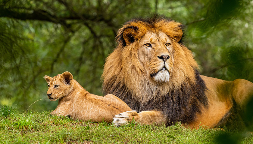 A lion with its cub