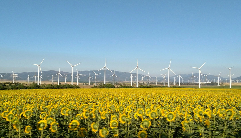 Field of sunflowers with several wind turbines in the distance